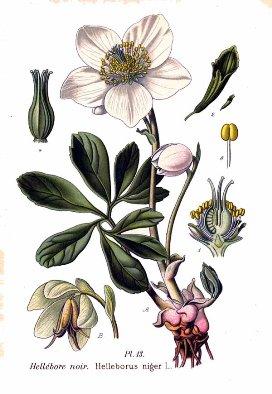 Les hellébores [ou ellébores], 3e partie : la rose de Noël, l'hellébore noir.