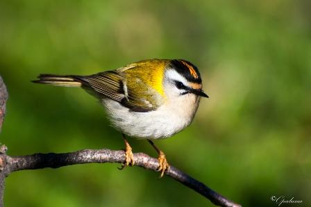 Roitelet triple bandeau. Les oiseaux de cette espèce sont parmi les plus petits d'Europe. Ils sont massacrés en grand nombre par les pales des éoliennes lors de leur migration automnale.