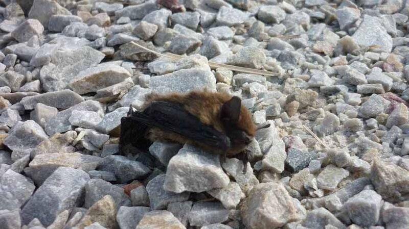 Cadavre de pipistrelle commune sous une éolienne