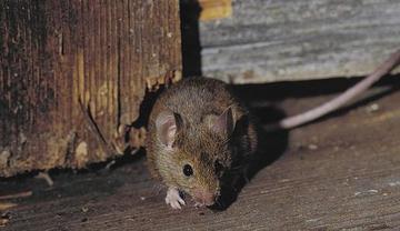 Des souris et des hommes !