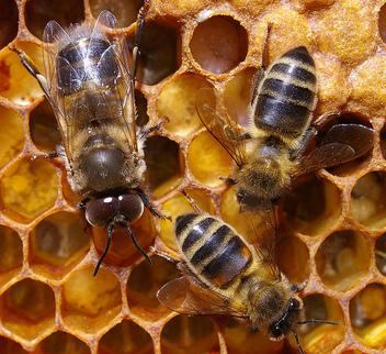Abeilles des villes et abeilles des champs