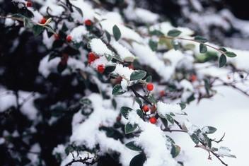 Cotoneaster franchetii,( Bois, 1902) sous la neige en décembre à Fontenay-aux-Roses