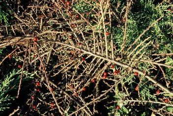 Le cotoneaster
