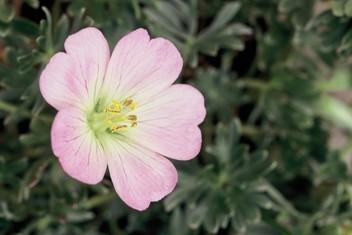 Fleur de géranium argenté