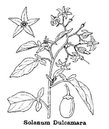 Dessin extrait de la Flore de l'abbé H. Costes, t. 2 p.613