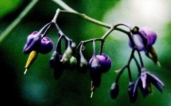 La Morelle douce-amère – Solanum dulcamara