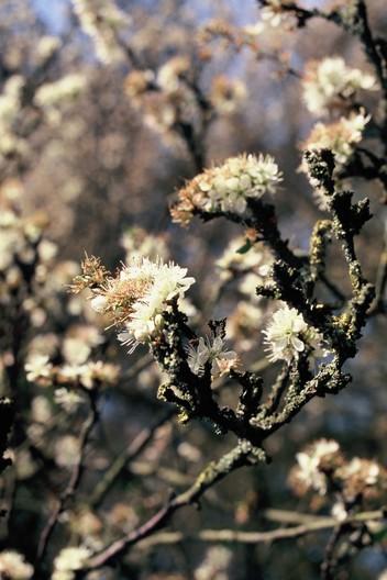 L'épine noire ou prunellier.