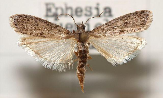 Imago d'Ephestia küehniella