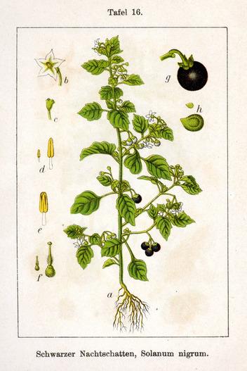 La morelle noire – Solanum nigrum