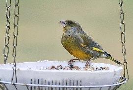 Nourrir les oiseaux en hiver : Certes, mais le faire correctement pour éviter qu'ils en meurent !
