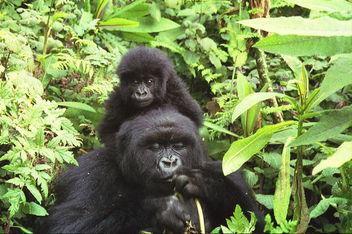 Totalement inadmissible : le pétrole menace les derniers gorilles des montagnes. Il faut réagir !