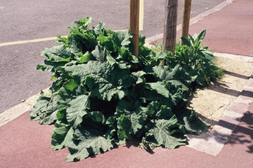 Les feuilles de cette bardane nourrissent  des pucerons que dévorent des coccinelles, larves et adultes
