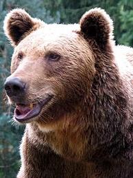 Défaut de protection de l'Ours des Pyrénées : l'Europe met en garde la France.