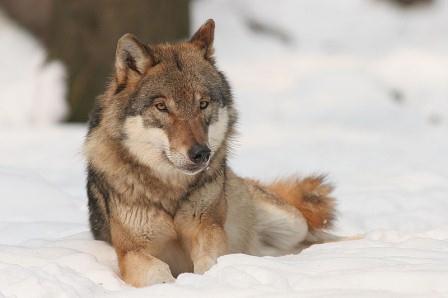 Les zones de protections renforcées : nouvelles menaces sur le loup en France