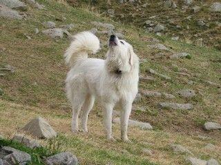 Sur les terres hantées par le loup, gare aux patous !