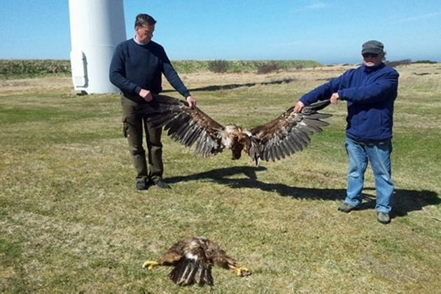 Jeune aigle coupé en deux par une pale