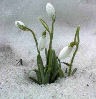 Le perce-neige Galanthus nivalis et espèces proches