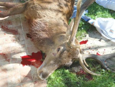 Chasse à courre : un cerf abattu à coup de fusil dans le jardin d'une maison !