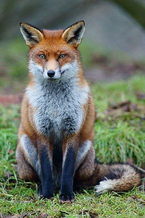 Urgent : de nouveaux massacres de renards sont en préparation.  Réagissons !