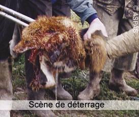 Ch'tis fox days, le retour ! Massacres de renards à nouveau programmés.