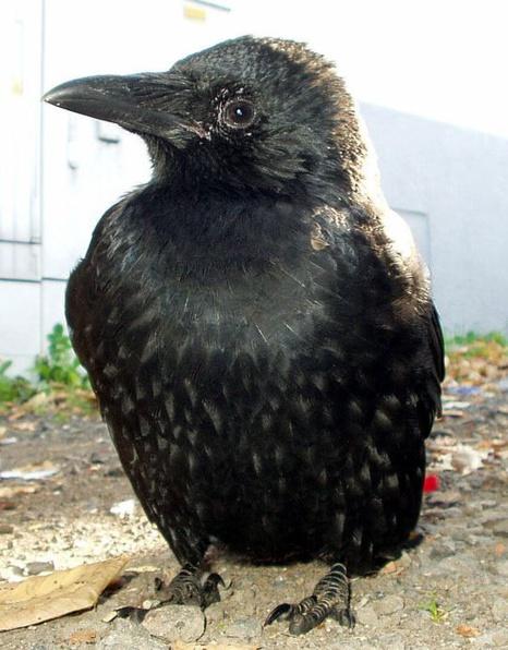 Jeune corneille noire