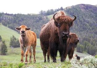 Brucellose : l'alibi pour massacrer des animaux sauvages, bouquetins en France, bisons aux USA !