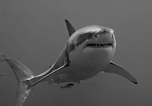 Massacre de requins à La Réunion : l'ASPAS, Longitude 181 et Sea Shepherd portent plainte !
