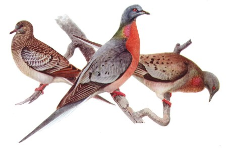 Pigeon migrateur d'amérique, Ectopistes migratorius